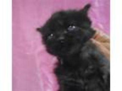 Adopt TEMPLETON a Domestic Medium Hair