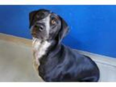 Adopt PETER a Pointer, Mixed Breed