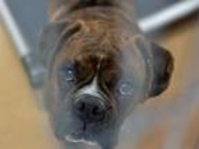 Adopt BISBEE a Brindle Boxer / Mixed dog in Martinez, CA (25269185)