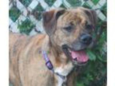 Adopt Kylie- URGENT! a Labrador Retriever, Boxer