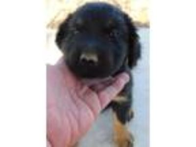 Adopt HANK'S PUPS J a Black - with Tan, Yellow or Fawn Shepherd (Unknown Type) /