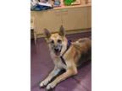 Adopt Greta a German Shepherd Dog / Mixed dog in Greensboro, NC (20303227)