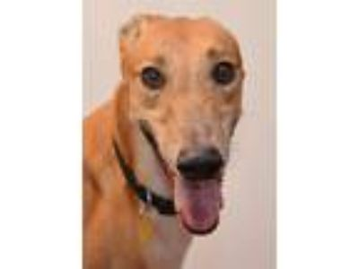 Adopt Charger a Tan/Yellow/Fawn Greyhound / Mixed dog in Minneapolis