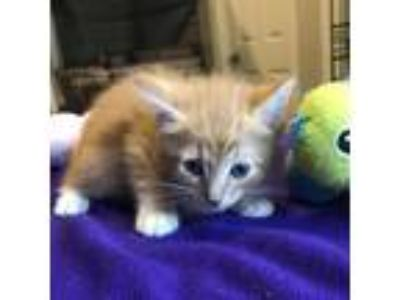 Adopt Scamp a Orange or Red Domestic Shorthair cat in League City, TX (25508261)