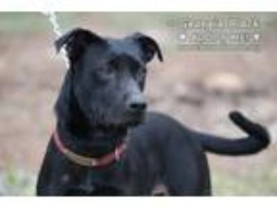 Adopt Georgia a Black Labrador Retriever / Labrador Retriever / Mixed dog in