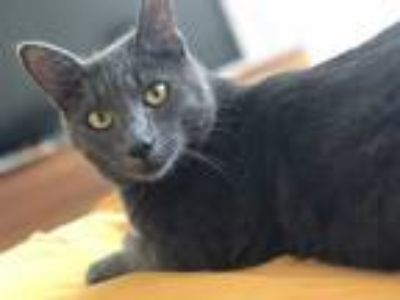 Adopt Pieree a Gray or Blue Russian Blue (short coat) cat in Los Angeles