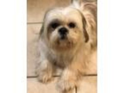 Adopt Rugby a Shih Tzu / Mixed dog in Barrington, RI (25313659)