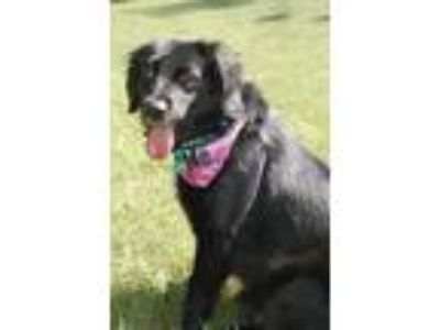Adopt Freedom a Black - with White Border Collie / Mixed dog in Lexington