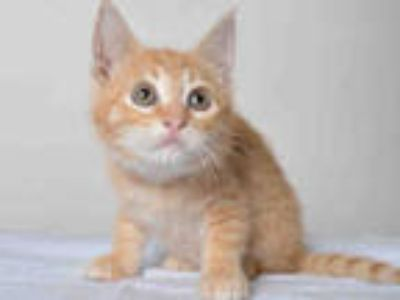 Adopt FRISKY a Orange or Red Tabby Domestic Shorthair / Mixed (short coat) cat