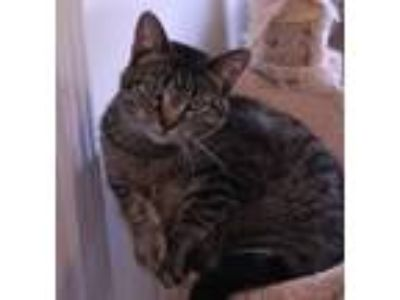Adopt Millie a Domestic Short Hair