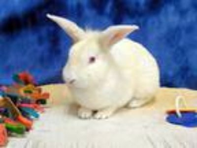 Adopt ZIPPER a White Other/Unknown / Mixed rabbit in Martinez, CA (25171061)