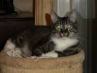 Adopt Fabian, MC mix, King of Prussia PA Area a Brown Tabby Maine Coon / Mixed