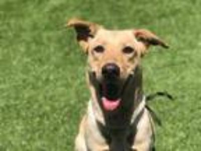 Adopt SAMREEN a Tan/Yellow/Fawn - with White Labrador Retriever / German