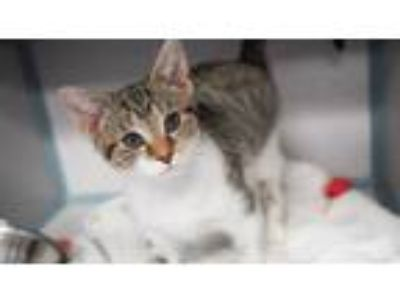 Adopt Molly is a Mushball! Look at the brown nose OMG a Bengal, Turkish Van