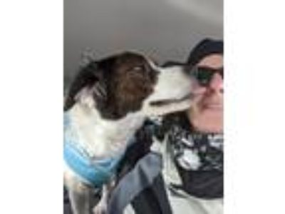 Adopt Sally a Border Collie, Hound