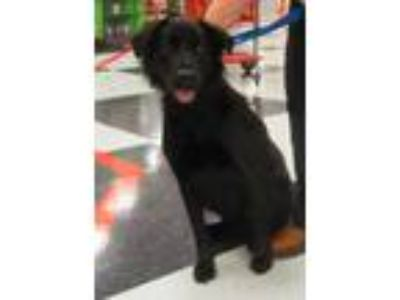 Adopt Gorgeous George a Border Collie, Labrador Retriever