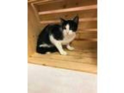 Adopt WILLOW a All Black Domestic Shorthair / Domestic Shorthair / Mixed cat in
