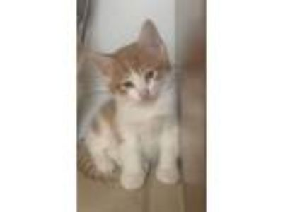 Adopt Jelly a Domestic Short Hair, Tabby
