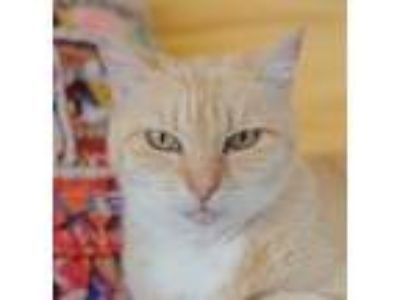 Adopt Guinevere a Domestic Short Hair
