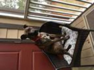 Adopt Lucy a Brindle - with White Boxer / Black and Tan Coonhound / Mixed dog in
