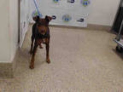 Adopt CANELO a Brown/Chocolate - with Tan German Pinscher / Mixed dog in Doral