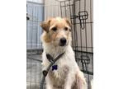 Adopt Nathan a Parson Russell Terrier / Mixed dog in Madison, NJ (25929720)