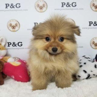 Pomeranian PUPPY FOR SALE ADN-95867 - POMERANIAN RACHEL FEMALE