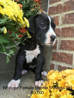 AKC Great Dane Puppies