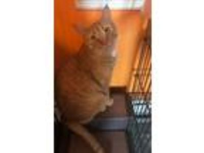 Adopt Buddy a Orange or Red (Mostly) Domestic Shorthair / Mixed (short coat) cat