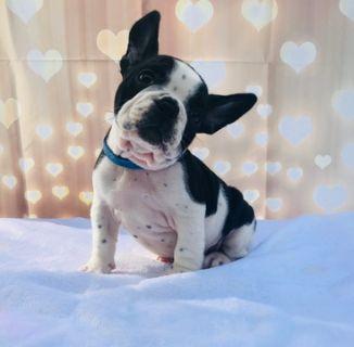 French Bulldog PUPPY FOR SALE ADN-77604 - ROCKY