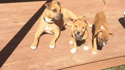 Pitbull Terrier puppy. ADBA registered