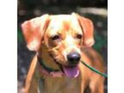 Adopt BRIENNE a Red/Golden/Orange/Chestnut Labrador Retriever / Mixed dog in