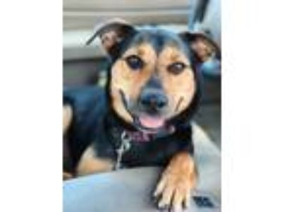 Adopt Piper a Cattle Dog, Rottweiler