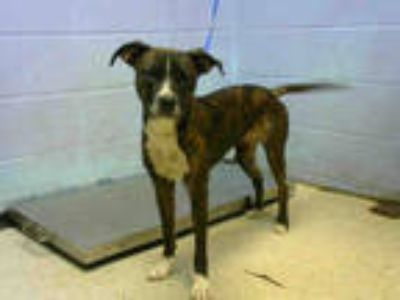 Adopt AYESHA a Brindle Boxer / Mixed dog in Atlanta, GA (25874757)
