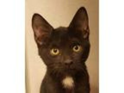 Adopt Dacey a Black (Mostly) Domestic Shorthair (short coat) cat in Grayslake