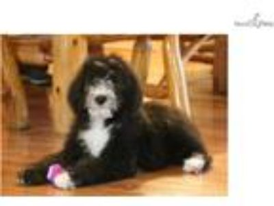 Maddy-SUPER PLAYFUL Female Sheepadoodle Puppy!!!