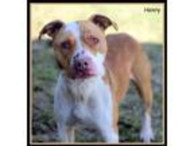 Adopt Henry a White American Pit Bull Terrier / Mixed dog in Sullivan