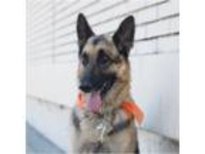Adopt Lenny a Black - with Tan, Yellow or Fawn German Shepherd Dog / Mixed dog