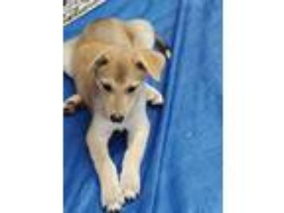 Adopt Calista a Tan/Yellow/Fawn - with White Shepherd (Unknown Type) / Mixed dog