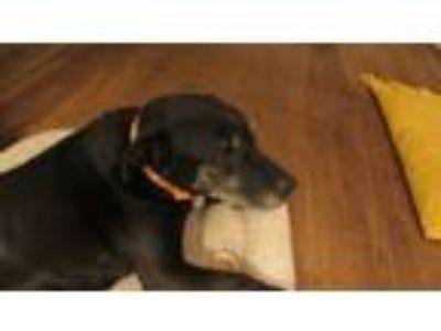 Adopt Jessie a Labrador Retriever, Pit Bull Terrier