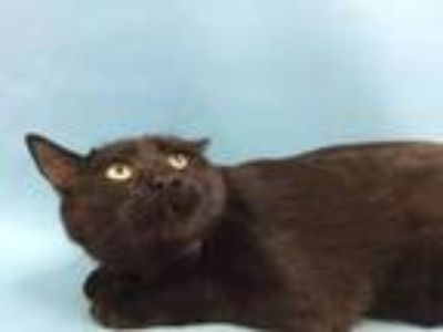 Adopt Jelly a Domestic Short Hair