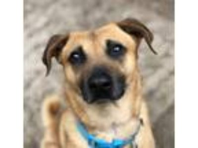 Adopt Sully a Red/Golden/Orange/Chestnut Belgian Malinois / Mixed dog in San