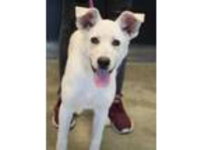 Adopt Elsa a White Shepherd (Unknown Type) / Mixed dog in Bowling Green