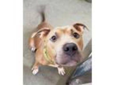 Adopt Roscoe a American Pit Bull Terrier / Mixed dog in Pittsburgh