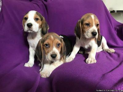 8 Week Old Beagle Puppies