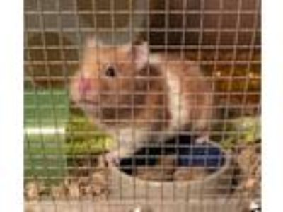 Adopt Cutie Hamsters! a Tan or Beige Hamster (short coat) small animal in South