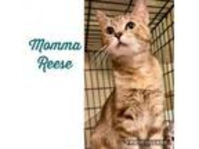 Adopt Reese a Domestic Short Hair