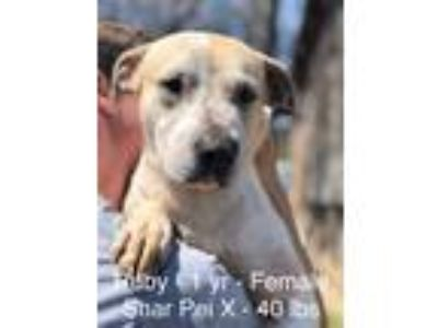 Adopt Ruby in CT a Tan/Yellow/Fawn - with White Shar Pei / Mixed dog in East