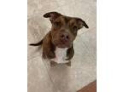 Adopt Champion a Brown/Chocolate - with White Pit Bull Terrier / Mixed dog in St