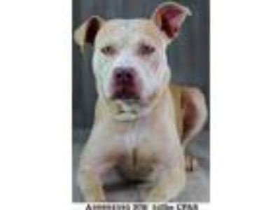 Adopt Dutch a Tan/Yellow/Fawn American Pit Bull Terrier / Mixed dog in